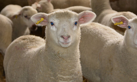 Which Sheep Breed Suits Your Farm?